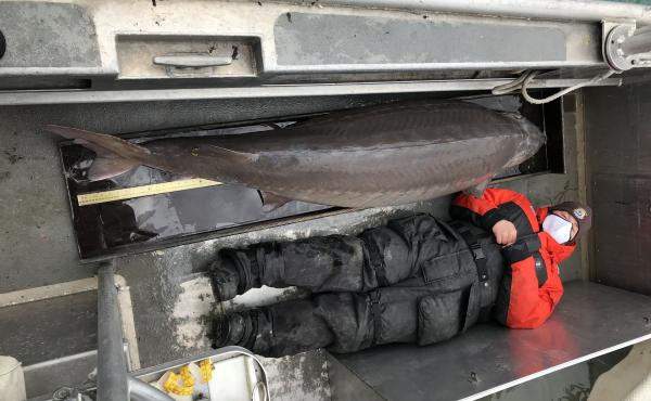 Jennifer Johnson, a member of the U.S. Fish and Wildlife Service survey crew, lies down beside a massive lake sturgeon that was pulled from the Detroit River last week. The sturgeon was tagged with a microchip and released back into the river.
