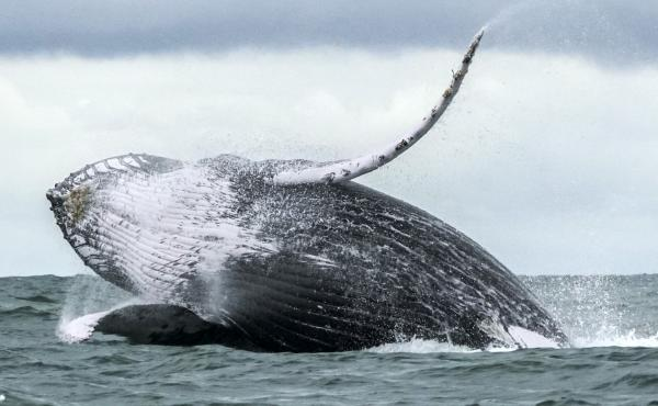 A humpback whale jumps in the surface of the Pacific Ocean at the Uramba Bahia Malaga National Natural Park in Colombia in 2018. Michael Packard says he was nearly swallowed by one such whale on Friday as he dove for lobsters off the coast of Provincetown