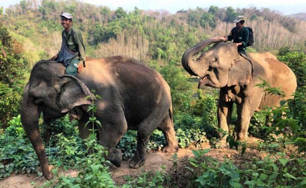 Handlers, known as mahouts, ride elephants along a mountain ridge at the Elephant Conservation Center in Xayaboury, Laos. The center has 29 elephants, most of which spent long careers hauling logs in Laos' logging industry.