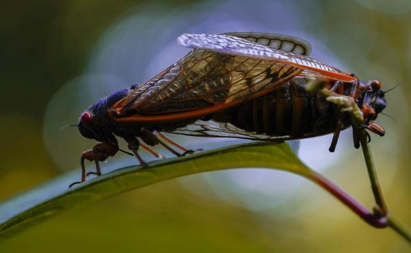 Trillions of cicadas are emerging in the U.S. Scientists say Brood X is one of the biggest for these bugs, which come out only once every 17 years.