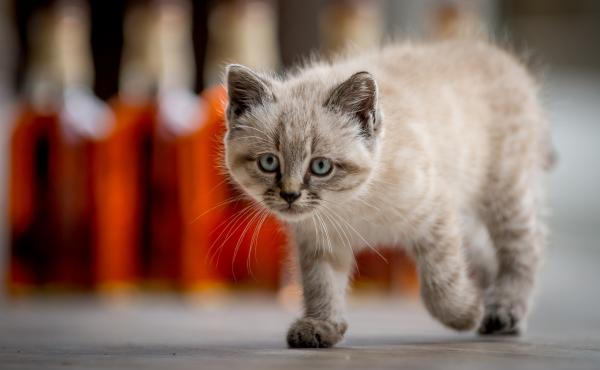 Peat the kitten kept Scotland's Glenturret Distillery free of mice that are attracted to the grain used in production. The 6-month-old kitten was also an ambassador who was featured in public relations photos. But Peat died Monday, apparently after being