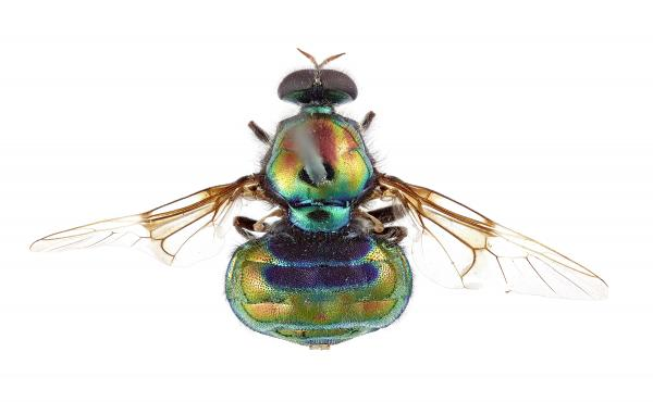 View from above (dorsal view) of the new soldier fly named after RuPaul, Opaluma rupaul.