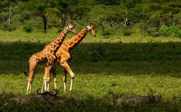 Rothschild's giraffe at Lake Nakuru, Great Rift Valley, Kenya. A community project at Kenya's Lake Baringo is attempting to save the subspecies.