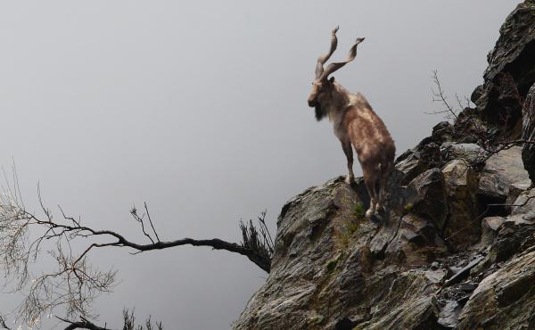 The markhor, pictured above, is a species of wild goat found in Pakistan as well as places like Afghanistan, Tajikistan and the Himalayas.