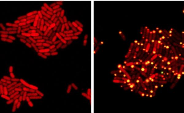 In these images, E. coli bacteria harbor proteins from a bacteria-killing virus that can eavesdrop on bacterial communication. At left, one protein from the virus has been tagged with a red marker. At right, the virus has overheard bacterial communication