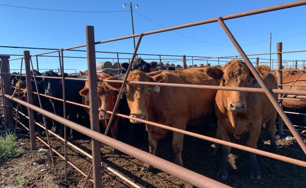 North Dakota ranchers have been forced to sell off close to 25% more of their herds over last year.