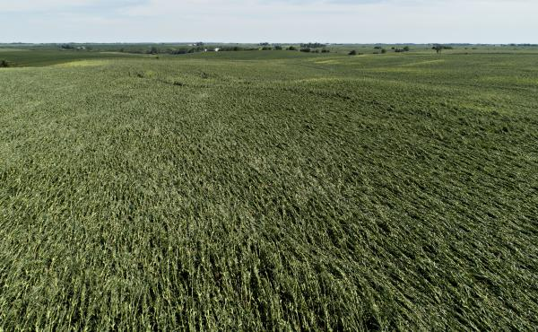 Corn plants are pushed over in a damaged field in Tama, Iowa. Iowa Gov. Kim Reynolds said that early estimates indicate that 10 million acres, or nearly a third of the state's cropland, was damaged in a powerful storm.