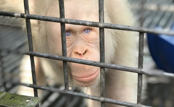 Alba, believed to be the world's only albino orangutan, was rehabilitated after she suffered a harsh captivity in Borneo. She's now been released and is living in the wild again.
