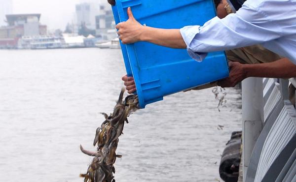 Buddhists pour fish into the river in Shanghai. Environmentalists say the ritual, while well-intentioned, can introduce invasive species. Many of the fish are quickly swooped up in nets by fishermen who position themselves nearby.