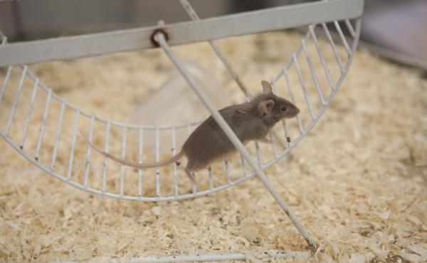 Mice that exercise produce more of an enzyme that can improve memory and other brain functions.