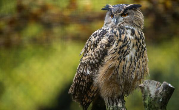 The European eagle owl, like this one from the Mulhouse Zoo in eastern France, is one of the largest owl species, with a wingspan of about 6 feet.