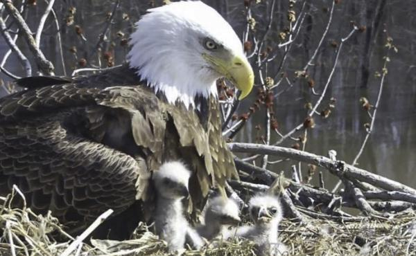 Starr, a female bald eagle, looks over her eaglets in a nest along the Mississippi River in April. She is raising the three eaglets along with her two male partners, Valor I and Valor II.
