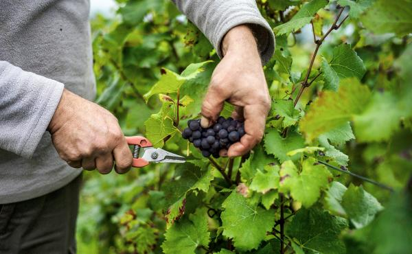 A worker cuts a cluster of grapes in the Burgundy region of France during the harvest period. Global warming has made conditions historically associated with great wines more frequent in Bordeaux and Burgundy, a study finds. But things look less bright fo