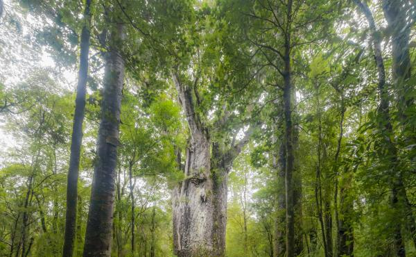 A giant kauri tree grows in Waipoua Forest in Northland, New Zealand. Trees like this one that fell long ago and were preserved for thousands of years are helping researchers discern fluctuations in the Earth's magnetic poles.