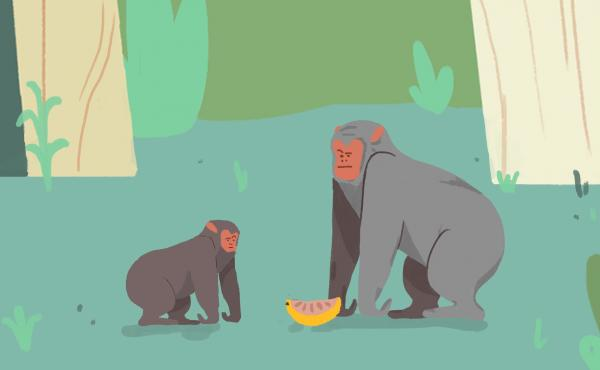 Unlike humans, chimpanzees don't readily share food, even with their own children.