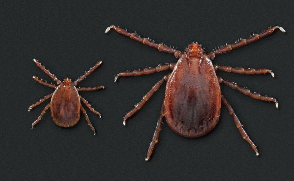 This photo depicts two Haemaphysalis longicornis ticks, commonly known as the longhorned tick. It has been linked to the spread of a hemorrhagic fever in China. The smaller of the two ticks on the left is a nymph. The larger tick is an adult female.