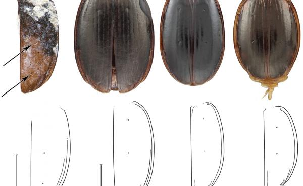 A new species of ground beetle found in Antarctica (left) is named Antarctotrechus balli. The three other beetles are close modern relatives of the ancient species. The line drawings show similarities between the beetles.