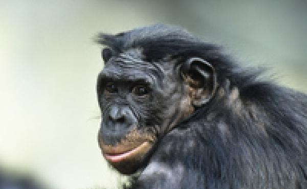 New research shows that apes might have more in common with us than we thought, says Alva Noe.