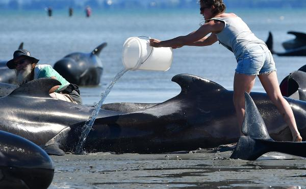 A volunteer pours water on some of the stranded pilot whales at Farewell Spit on Saturday.