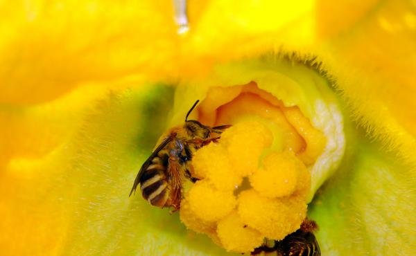 Peponapis pruinosa is a species of bee in the tribe Eucerini, the long-horned bees. This bee relies on wild and cultivated squashes, pumpkins, gourds and related plants.