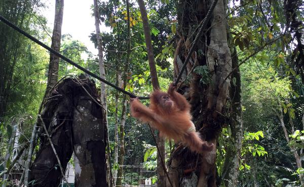 A baby orangutan wearing a diaper swings through the trees at the Sumatran Orangutan Conservation Program outside Medan, capital of Indonesia's North Sumatra province. The program takes mostly orphaned orangutans, nurses them back to health and releases t