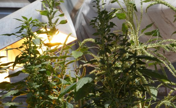 These Palmer amaranth — or pigweed — plants, seen growing in a greenhouse at Kansas State University, appear to be resistant to multiple herbicides.