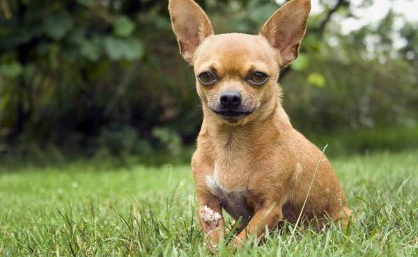 Modern Chihuahuas trace their genetic roots in America to back before the arrival of Europeans, a new study suggests.