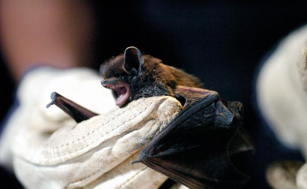 A silver-haired bat, the type that transmitted rabies to a woman in Wyoming after apparently biting her while she slept.