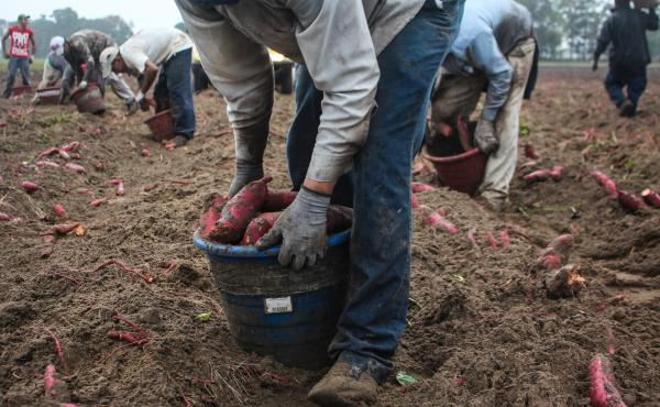Harvesting sweet potatoes: Workers sort the potatoes in the field, collecting small and large ones in different buckets. Each bucket weighs 30 pounds or so. A worker will shoulder that bucket and dump it into a flatbed truck 400 to 500 times a day. It's a