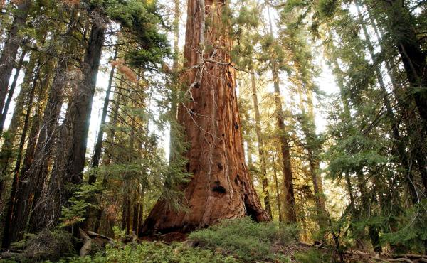 """When it comes to the climate change, """"you can see these vast changes in the future, and you can be worried about them, but you can still continue to do good and work in the moment for small things,"""" says Zach St. George. Above, a sequoia in California's G"""