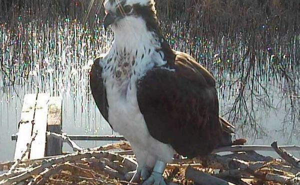 One of the two female ospreys that scuffled over the male on the Boulder County, Colo., nest web cam.