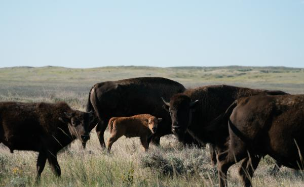 The American Prairie Reserve project has also garnered support from two local tribal councils, including at the Fort Belknap Indian Reservation, home of the Nakoda and Aaniiih. Bison were nearly eradicated from the prairies by white settlers and the U.S.