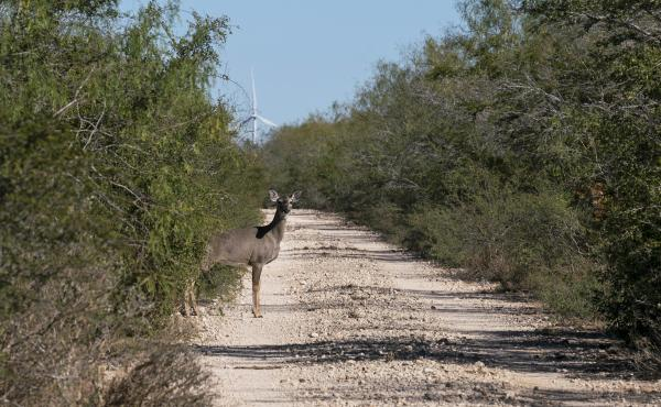 A white-tailed deer emerges from the brush. The Lower Rio Grande Valley National Wildlife Refuge has some of the richest biological diversity in North America--with 1,200 plants, 300 butterflies, and 700 vertebrates, of which 520 are birds.