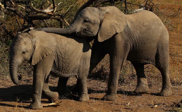 Elephants eat foliage at Botswana's Mashatu game reserve in 2010.