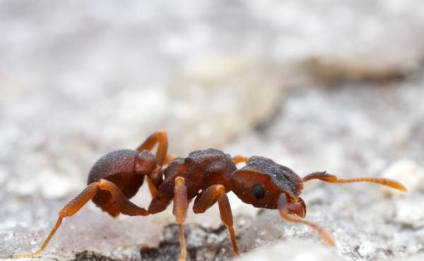 Scientists have isolated a molecule with disease-fighting potential in a microbe living on a type of fungus-farming ant (genus Cyphomyrmex). The microbe kills off other hostile microbes attacking the ants' fungus, a food source.