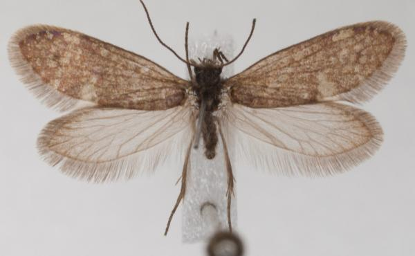 A modern moth with a proboscis, the organ adapted for sucking up fluids such as nectar. Newly discovered fossil evidence suggests ancestors of such animals exists before flowering plants, raising questions about what ancient butterflies and moths used the