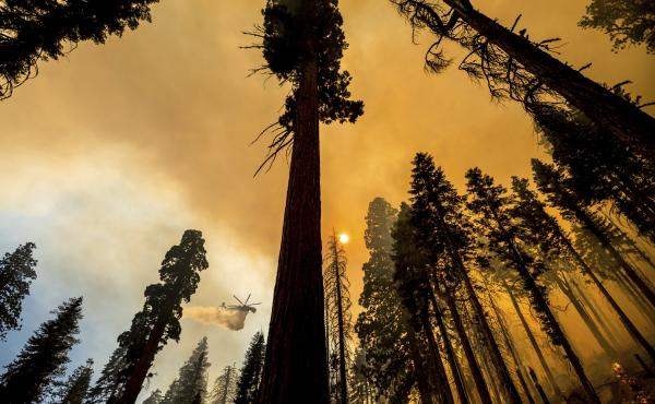 A helicopter drops water on the Windy Fire burning in the Trail of 100 Giants grove of Sequoia National Forest, Calif., on Sunday.