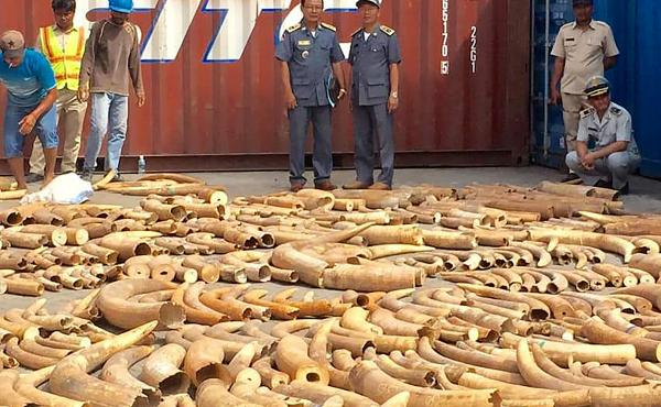 Cambodian officials discovered 1,026 pieces of ivory hidden among marble in an abandoned container shipped from Mozambique. Cambodia has emerged as an ivory trade hub in recent years.