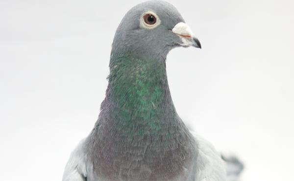 One of the pigeons in a study that found the birds could distinguish dozens of words.