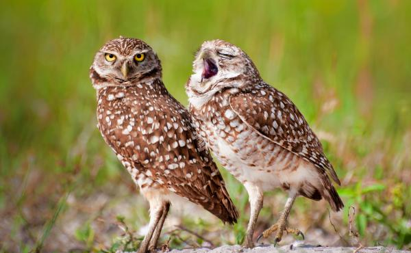 Need another cup of coffee? An owl yawns as another looks toward the camera in Alaska.