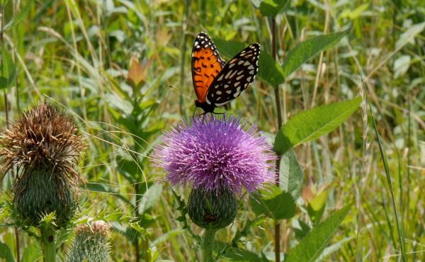 The regal fritillary butterfly has largely disappeared from the Eastern U.S.
