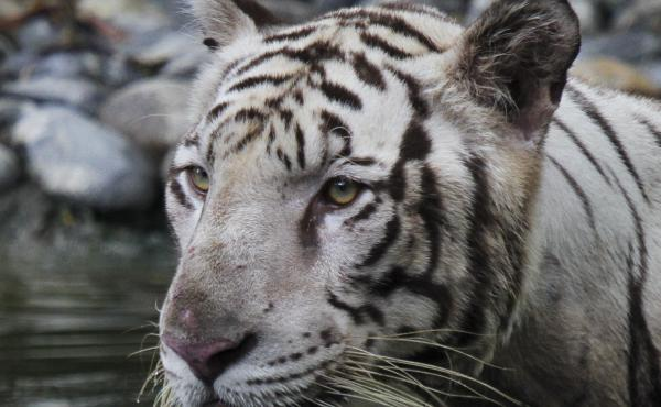 A white tiger at the Alipore zoo in Kolkata, India. India's tiger population has grown to nearly 3,000, making the country one of the safest habitats for the endangered animals.