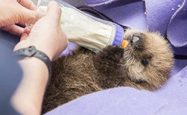 """""""Pup 681"""" during a feeding at the Shedd Aquarium in Chicago."""