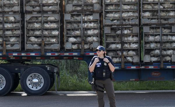 A trailer loaded with chickens passes a federal agent outside a Koch Foods plant in Morton, Miss., on Wednesday.