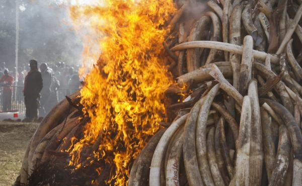 Fifteen tons of elephant tusks are set on fire during an anti-poaching ceremony at Nairobi National Park in Nairobi, Kenya in March 2015. Conservationists say a pledge by China to stop the ivory trade is a possible game-changer in the struggle to curb the