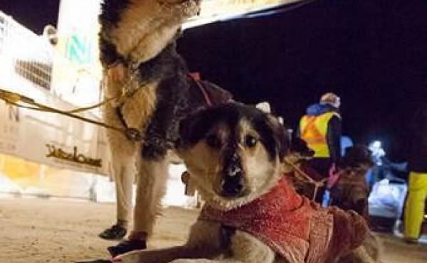 Sled dogs prefer below-zero weather for running, says musher Cody Strathe. Some mushers now train at night, when it's colder.
