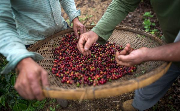 Farmers check coffee beans handpicked at their farm located in Forquilha do Rio, municipality of Dores do Rio Preto, Espirito Santo, Brazil.