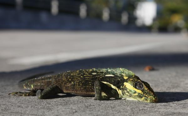 A stunned iguana lies on the sidewalk after having fallen from a tree Surfside, Fla., in 2010. That cold snap lasted for a few weeks and significantly reduced the iquana population.