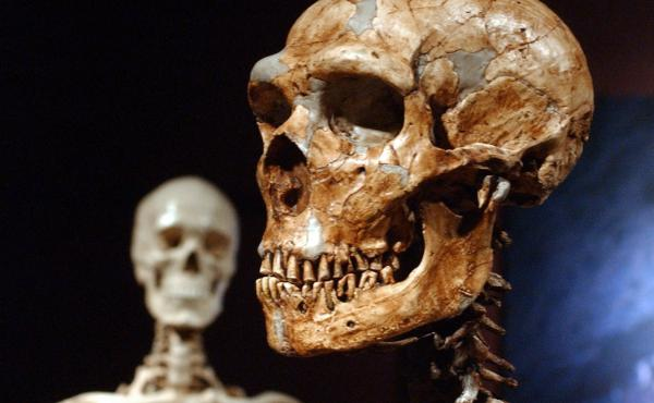 A reconstructed Neanderthal skeleton (right) and a modern-human version of a skeleton are displayed at the American Museum of Natural History in New York in 2003. A new study confirms that early humans who lived in colder places adapted to have larger bod