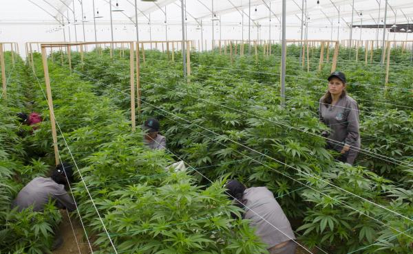 Workers prune marijuana plants at a Clever Leaves greenhouse in Pesca, Colombia. The company employs over 450 people.
